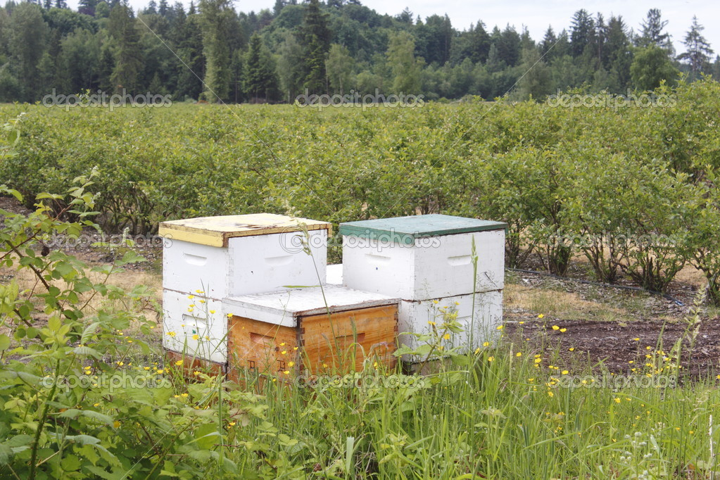 Beehive boxes house bees for pollinating blueberry bushes.  Zdjcie stockowe #10951960