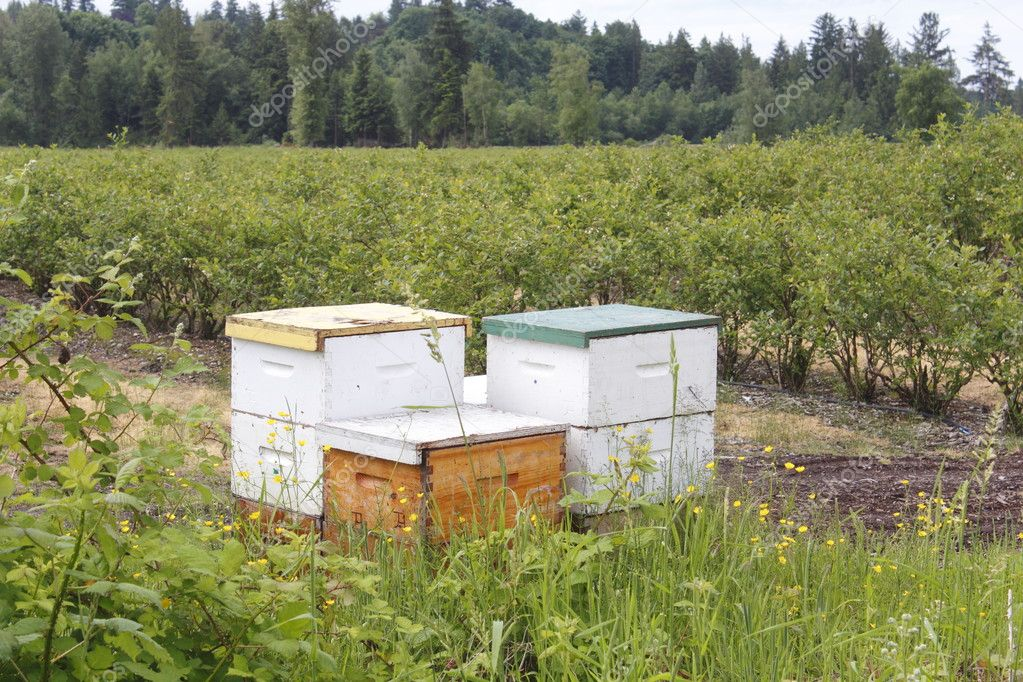 Beehive boxes house bees for pollinating blueberry bushes.  Foto Stock #10951960
