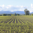 Canadian Corn Field — Stock Photo
