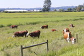 Dairy Cows Grazing in Pasture — Stock Photo