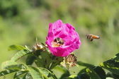 Wild Rose and Bees — Stock Photo
