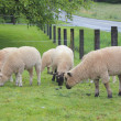 Sheep Grazing in a Pasture — Stock Photo
