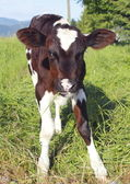 Full Frontal of a Young Calf — Stock Photo