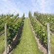 Grapevines on Hillside — Stock Photo #11614903