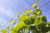 Grapevines on a Support Wire — Stok fotoğraf