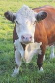 Prize Winning Cow — Stock Photo