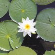 Lilly Pad Bloom — Stock Photo
