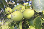 Vruchten rijpen — Stockfoto