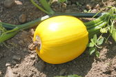 Small yellow squash — Stock Photo