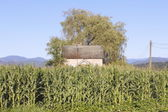 Tall Corn and House — Stock Photo