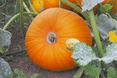 Bright Orange Pumpkin — Stock Photo