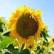 Sunflower field — Foto Stock #11810982