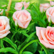 Pink flower rose with green leafs - Stock Photo