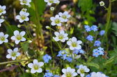 Yaskolka (Latin Cerástium) and the Forget-Me (Latin Myosótis). — Stock Photo