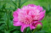Flower pink peony (Paeonia). — Stock Photo