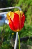 色彩鲜艳的红色和黄色郁金香 — 图库照片