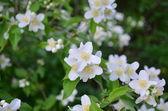 White flowers mock oranges — Stock Photo