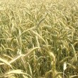 Stock Photo: Grain rye wheat field background