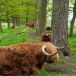 Scottish cows — Stock Photo #10899155