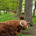 Scottish cows — Stock Photo
