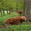 Scottish cows — Stock Photo #10899208