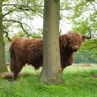 Scottish cow — Stock Photo #10899338
