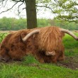 Scottish cow — Stock Photo #10899425