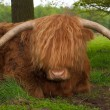 Scottish cow — Stock Photo #10899473