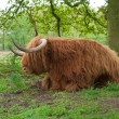 Scottish cow — Stock Photo #10899576