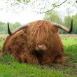 Scottish cow — Stock Photo #10899620
