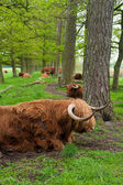 Scottish cows — Stock Photo