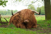 Scottish cow — 图库照片