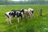 Fryzyjski krowy — Zdjęcie stockowe