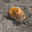 Stock Photo: Red river hog