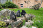 Gorilla family in zoo — Stock Photo