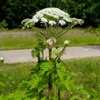 Foto de Stock  : Giant hogweed
