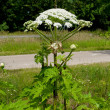 Giant hogweed — Stock Photo #12019489