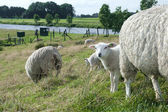 Sheep with lambs — Stock Photo
