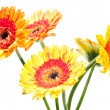 Stock Photo: Five orange yellow gerberflower