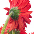 Red gerbera flower viewed from the back close up — Stock Photo