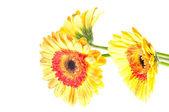 Three orange yellow gerbera flower — Stock Photo