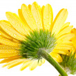 Yellow gerbera flower extreme close up back view — Stock Photo