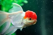Red cap oranda fish — Stock Photo
