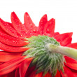 Red gerbera flower back view extreme close up — Stock Photo