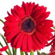 Red gerbera flower front view close up — Stock Photo #11460673