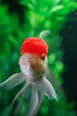 Red cap oranda swimming straight — Stock Photo