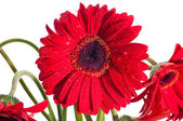 Red gerbera flower front view close up — Stock Photo