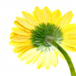 One yellow gerbera flower extreme close up back view — Stock Photo