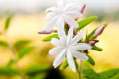 Jasmine flowers close up — Stock Photo