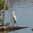 White egret being watched by monitor lizard — Stock Photo #12013831